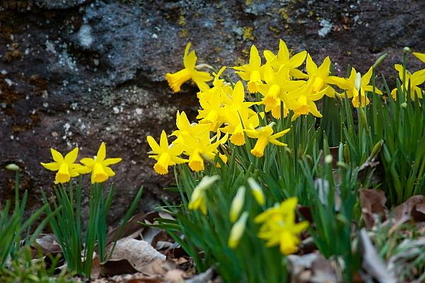 赤城自然園の早春の花_d0334291_15461294.jpg