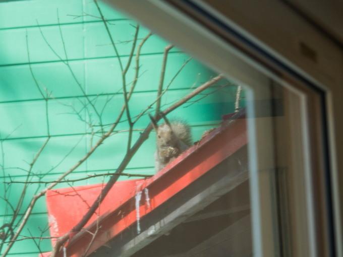 春の陽気に・・エゾリス君が屋根からカフェ覗く。_f0276498_21322132.jpg