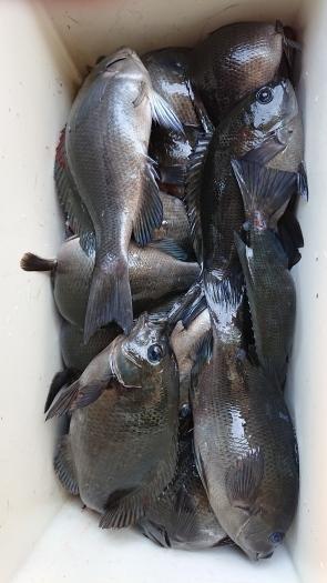 今日は、海釣りでグレが🎣❗_a0130305_19050593.jpg