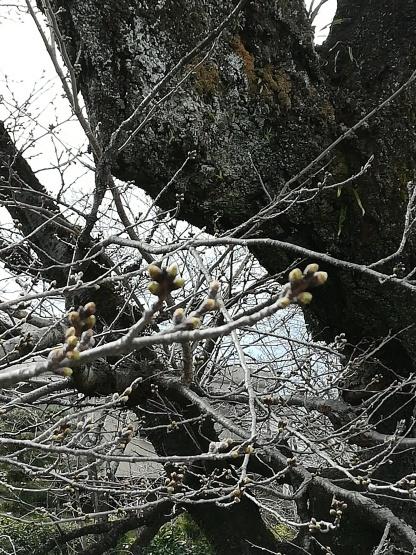 桜はまだまだ_b0289206_20221244.jpg