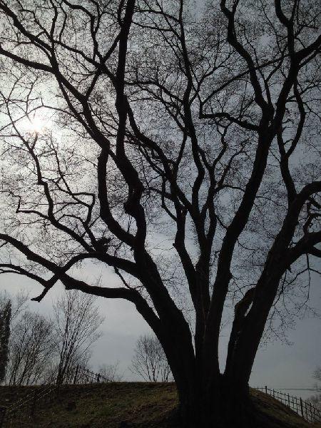 大桜のシルエット_c0141013_20461510.jpg