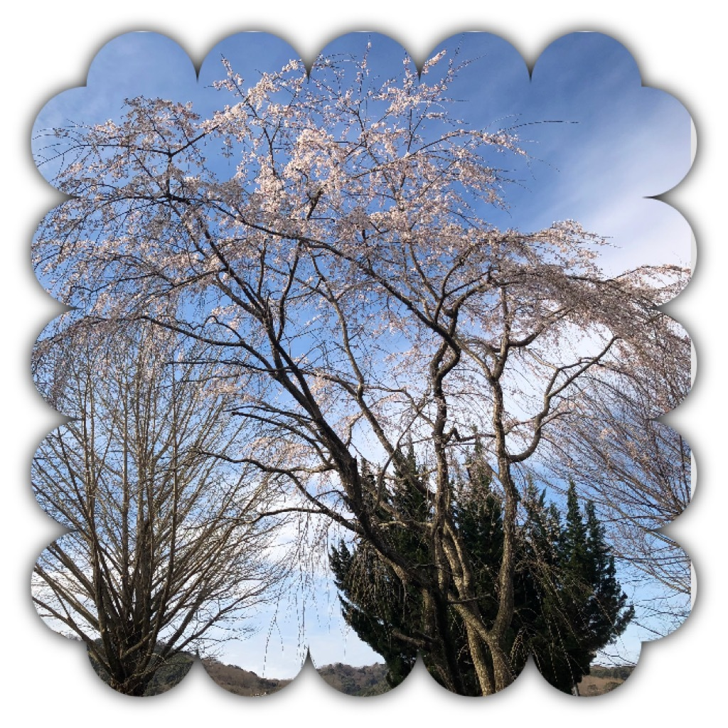 またまた枝垂れ桜🌸(๑˃̵ᴗ˂̵)_d0155416_11003451.jpeg