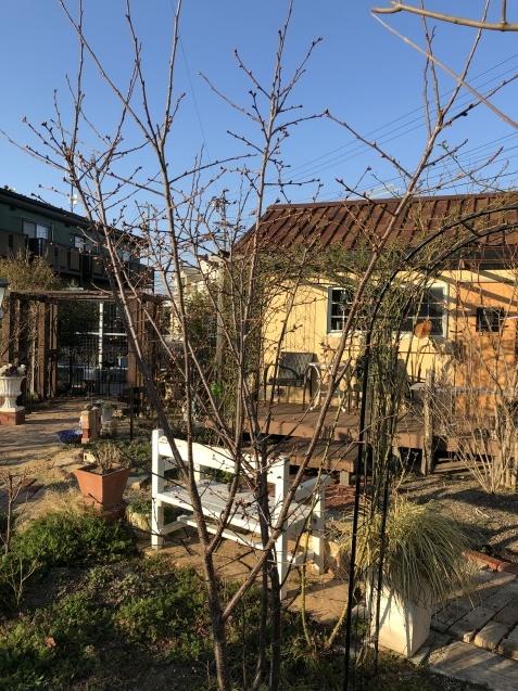 我が家の「桜」陽光の蕾も膨らんできました_a0243064_09435328.jpg