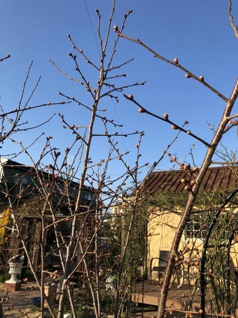 我が家の「桜」陽光の蕾も膨らんできました_a0243064_09441646.jpg