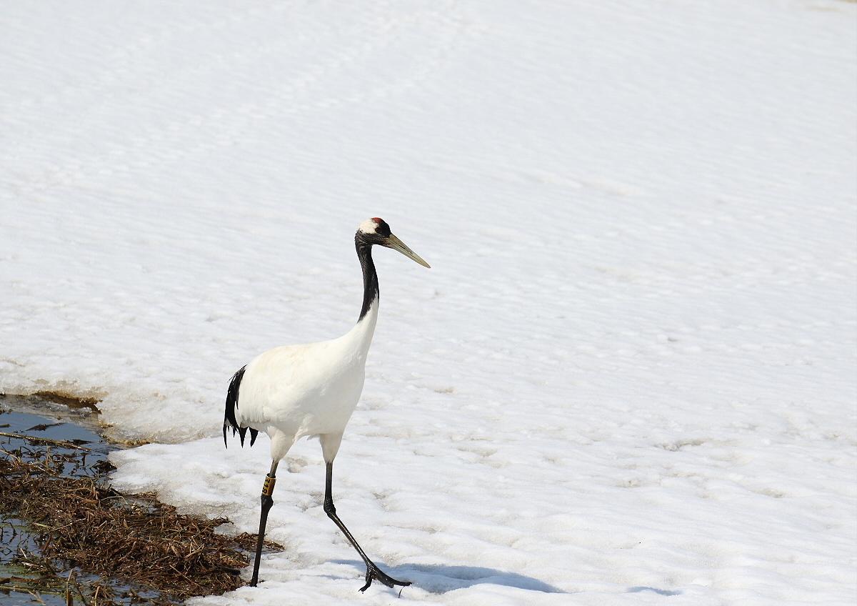 雪の上を歩く・・タンチョウ_c0113597_13270138.jpg