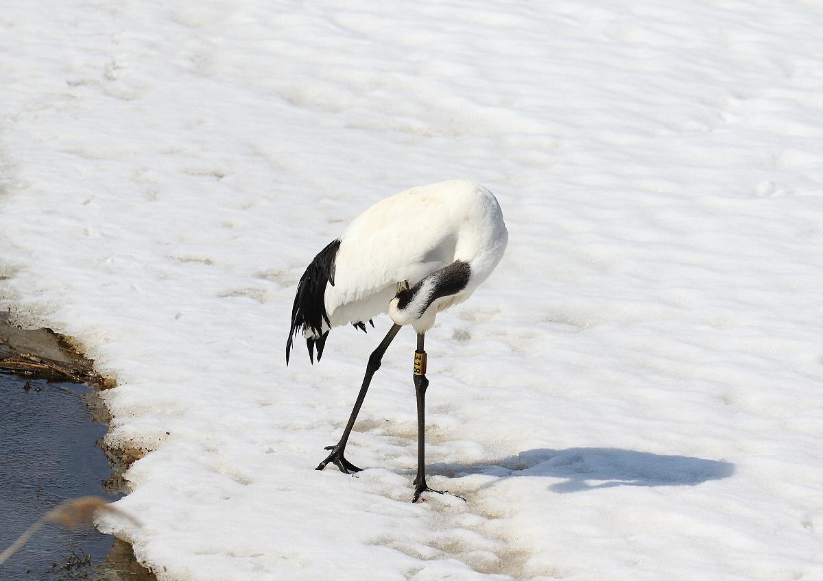雪の上を歩く・・タンチョウ_c0113597_13274599.jpg