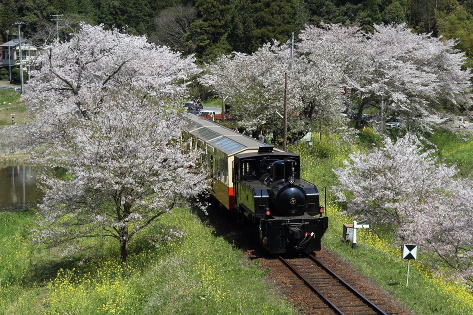 桜と菜の花と黒い機関車 - 2017年・小湊鉄道 -_b0190710_23173879.jpg