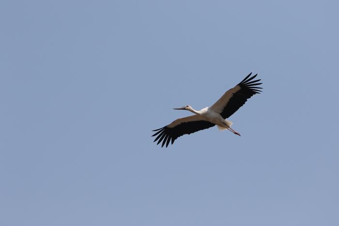 コウノトリの飛翔_f0239515_21512447.jpg
