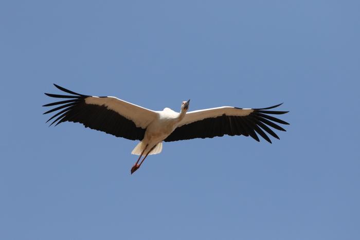 コウノトリの飛翔_f0239515_21524855.jpg