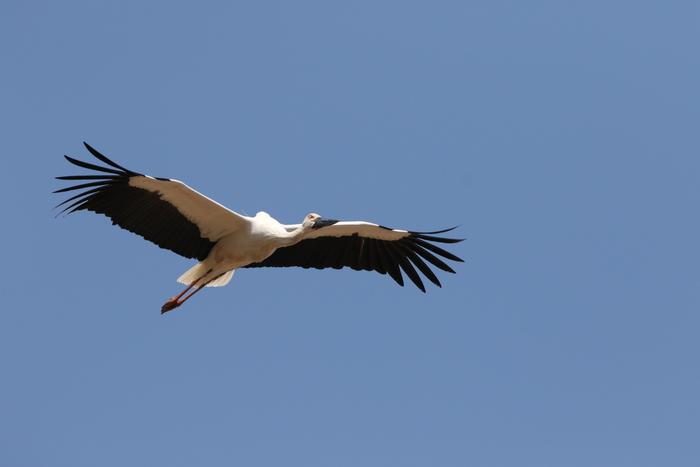 コウノトリの飛翔_f0239515_2152597.jpg