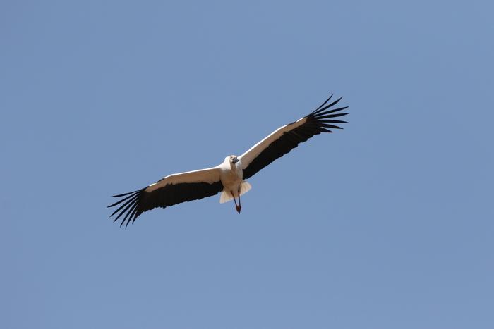 コウノトリの飛翔_f0239515_21543832.jpg