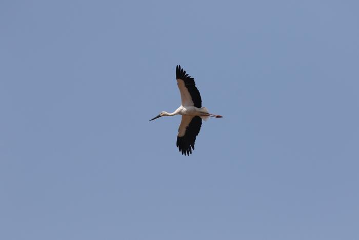 コウノトリの飛翔_f0239515_21552685.jpg
