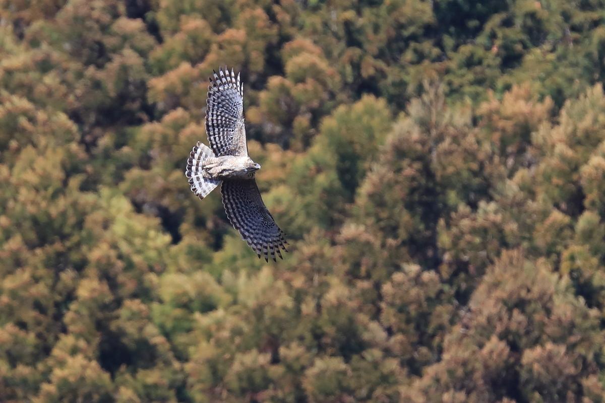 Mountain Hawk-eagle_f0288418_01014857.jpg
