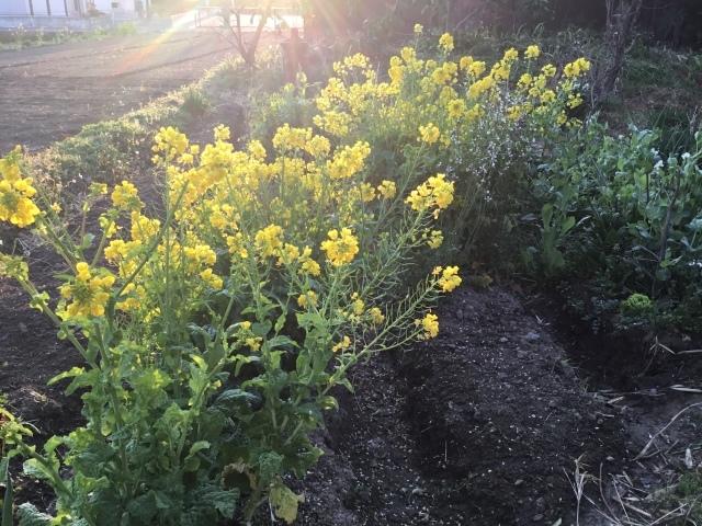 菜の花畑に朝陽が昇る_d0101846_07262557.jpeg