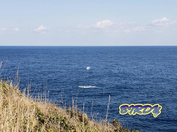 ザトウクジラ_e0273365_18134613.jpg