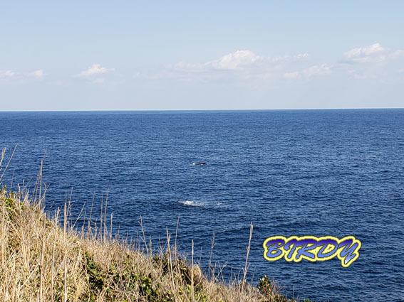 ザトウクジラ_e0273365_18134670.jpg