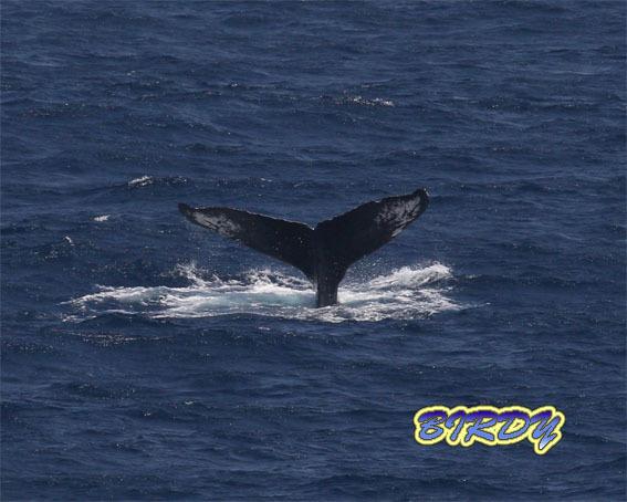 ザトウクジラのブリーチング_e0273365_18302778.jpg