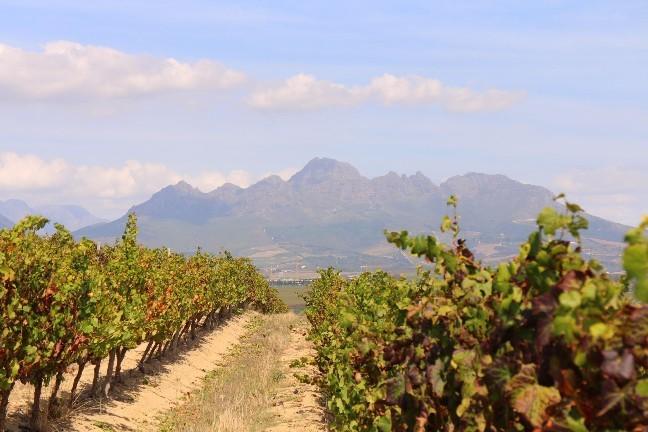 <南アフリカワイン旅行記>収穫真っ只中のステレンボッシュ。_b0016474_15395331.jpg