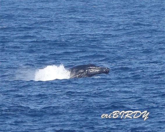 三宅島 ザトウクジラ ブリーチングとフリッパーフロップ_e0276114_06233403.jpg