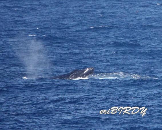 三宅島 ザトウクジラ ブリーチングとフリッパーフロップ_e0276114_06233406.jpg
