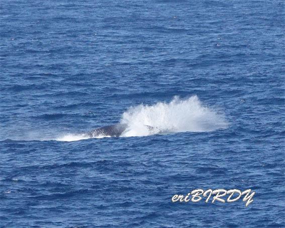 三宅島 ザトウクジラ ブリーチングとフリッパーフロップ_e0276114_06233438.jpg