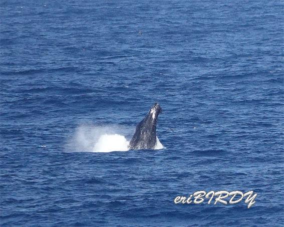 三宅島 ザトウクジラ ブリーチングとフリッパーフロップ_e0276114_06233458.jpg