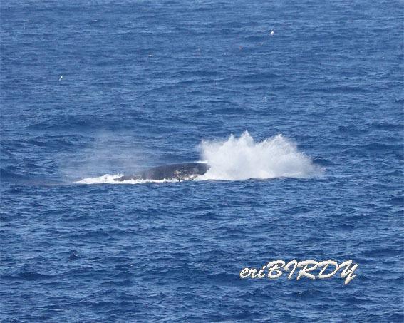 三宅島 ザトウクジラ ブリーチングとフリッパーフロップ_e0276114_06241661.jpg