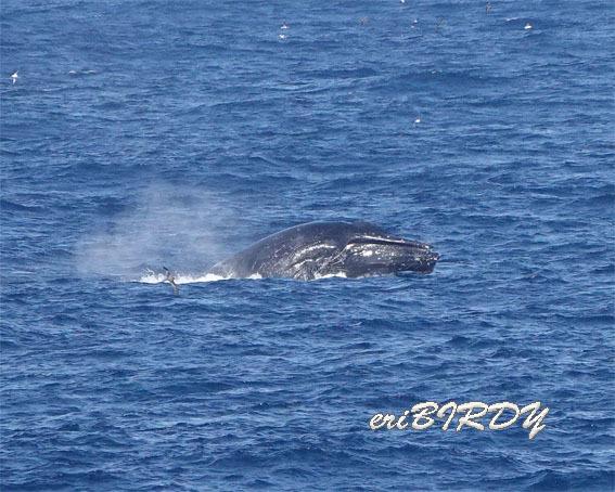 三宅島 ザトウクジラ ブリーチングとフリッパーフロップ_e0276114_06241670.jpg