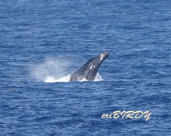 三宅島 ザトウクジラ ブリーチングとフリッパーフロップ_e0276114_06241714.jpg
