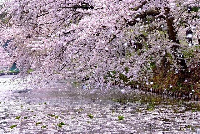 桜吹雪が好き_d0161928_10162080.jpeg