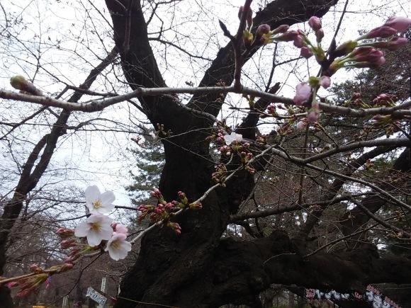 桜、開花_d0116059_15463764.jpg