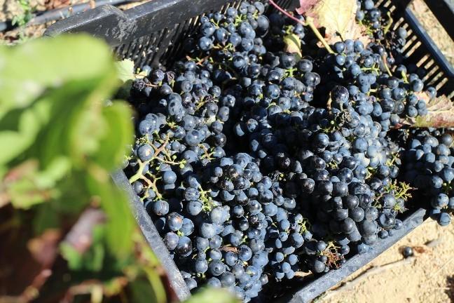 <南アフリカワイン旅行記>収穫真っ只中のステレンボッシュ。_b0016474_20012395.jpg