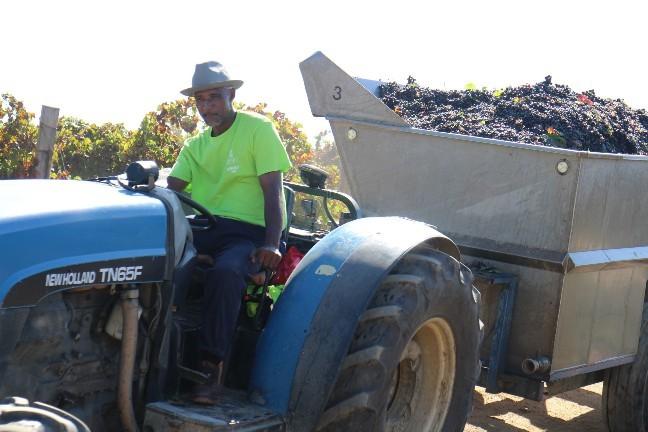 <南アフリカワイン旅行記>収穫真っ只中のステレンボッシュ。_b0016474_20075399.jpg