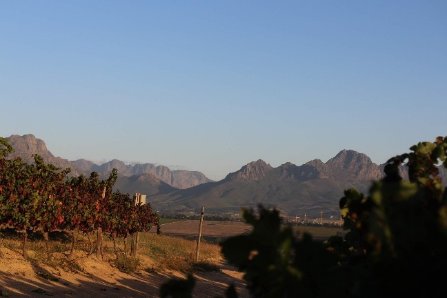 <南アフリカワイン旅行記>収穫真っ只中のステレンボッシュ。_b0016474_20205047.jpg