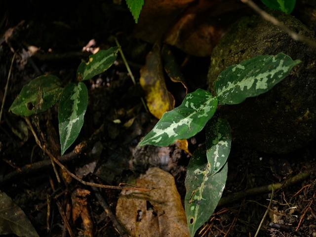 Aglaonema pictum AT from Tigalingga【AZ0119-1e】_a0067578_11012452.jpg