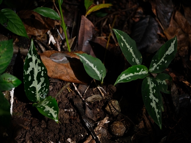 Aglaonema pictum AT from Tigalingga【AZ0119-1e】_a0067578_11014534.jpg