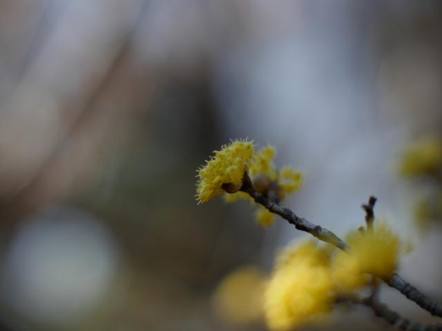 サンシュユ、春を染める_f0147895_21440912.jpg