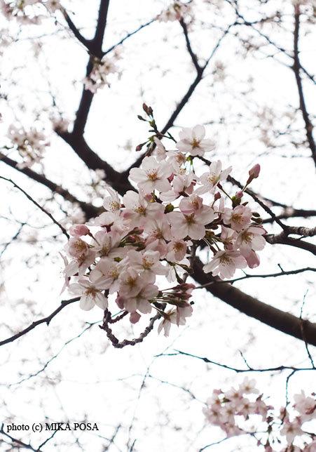 桜の季節_b0164803_22173310.jpg