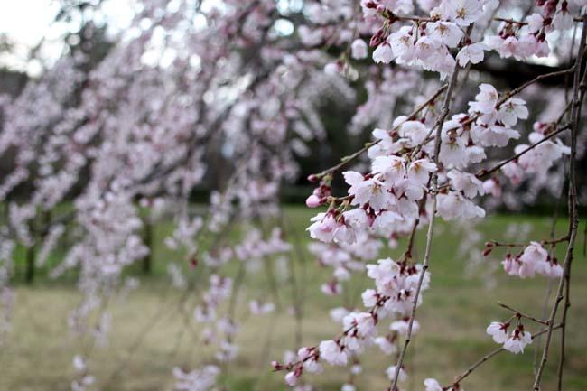糸しだれ桜 京都御苑_e0048413_19442789.jpg
