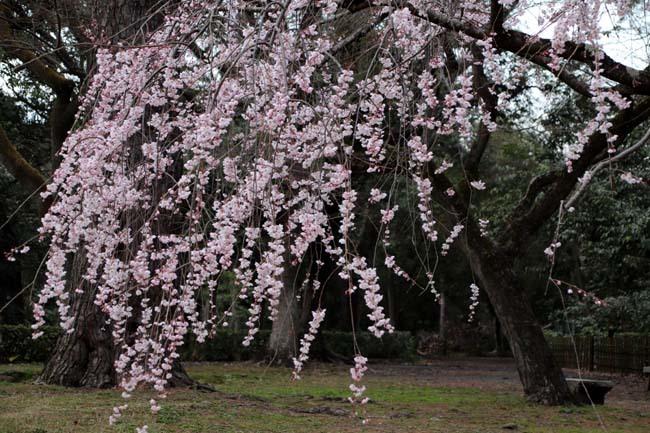 糸しだれ桜 京都御苑_e0048413_19443056.jpg