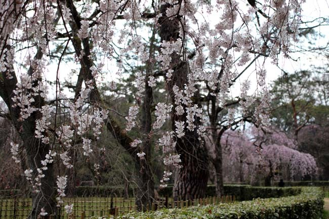糸しだれ桜 京都御苑_e0048413_19443402.jpg