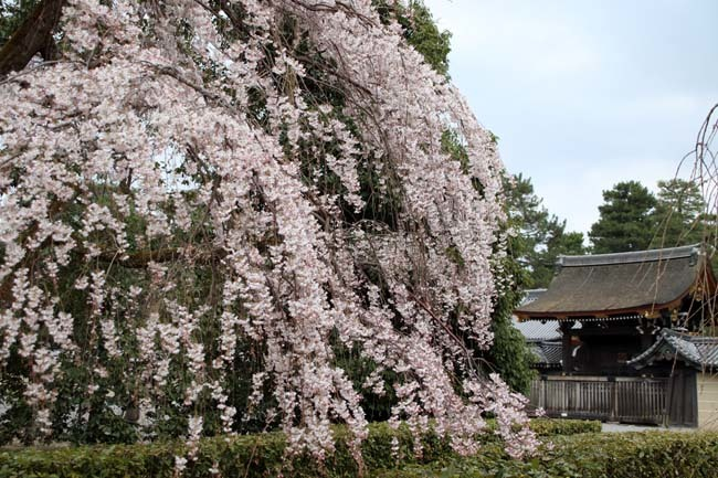 糸しだれ桜 京都御苑_e0048413_19444583.jpg