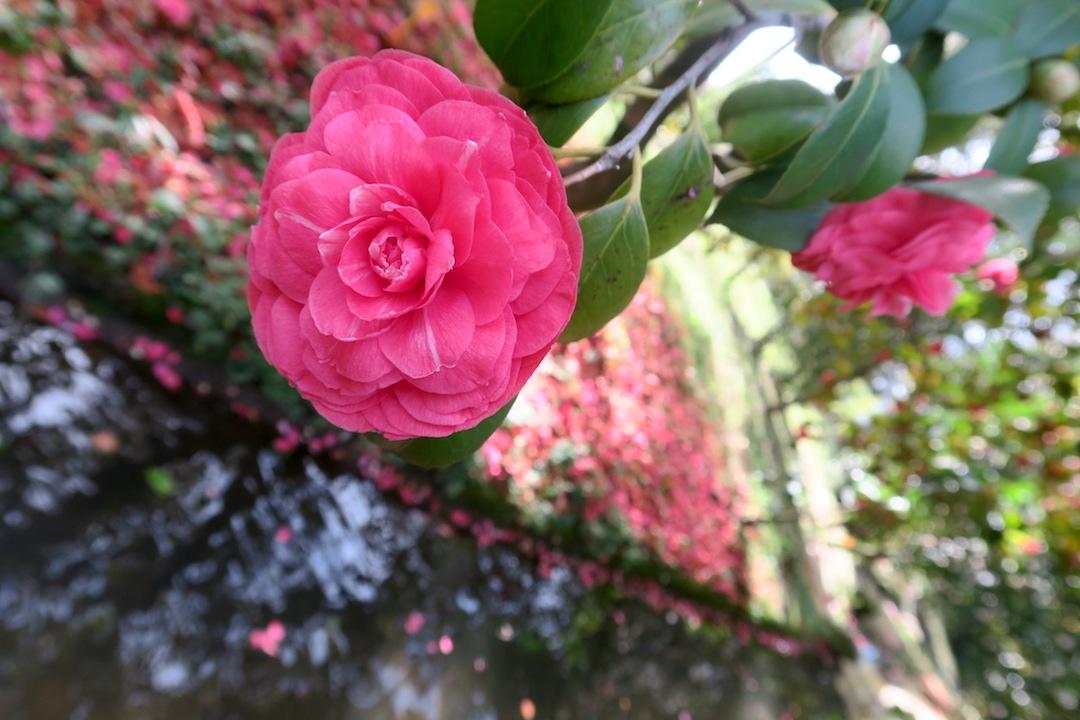 美しい椿の小道 庭園の景、ルッカ マルリア邸_f0234936_7233553.jpg