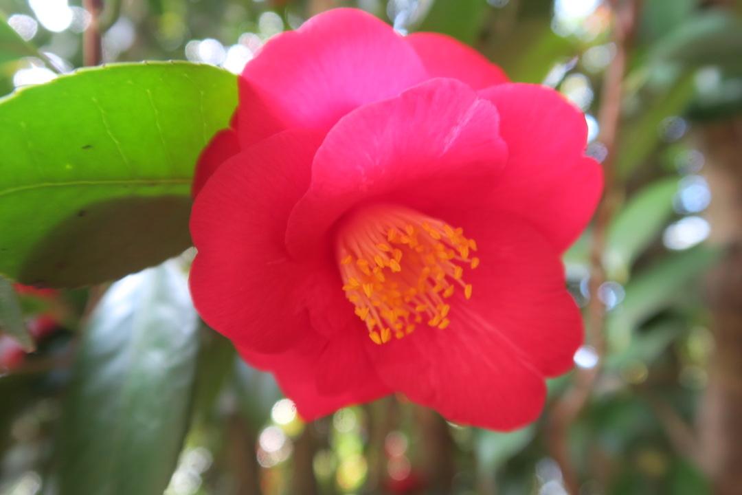 美しい椿の小道 庭園の景、ルッカ マルリア邸_f0234936_7513098.jpg
