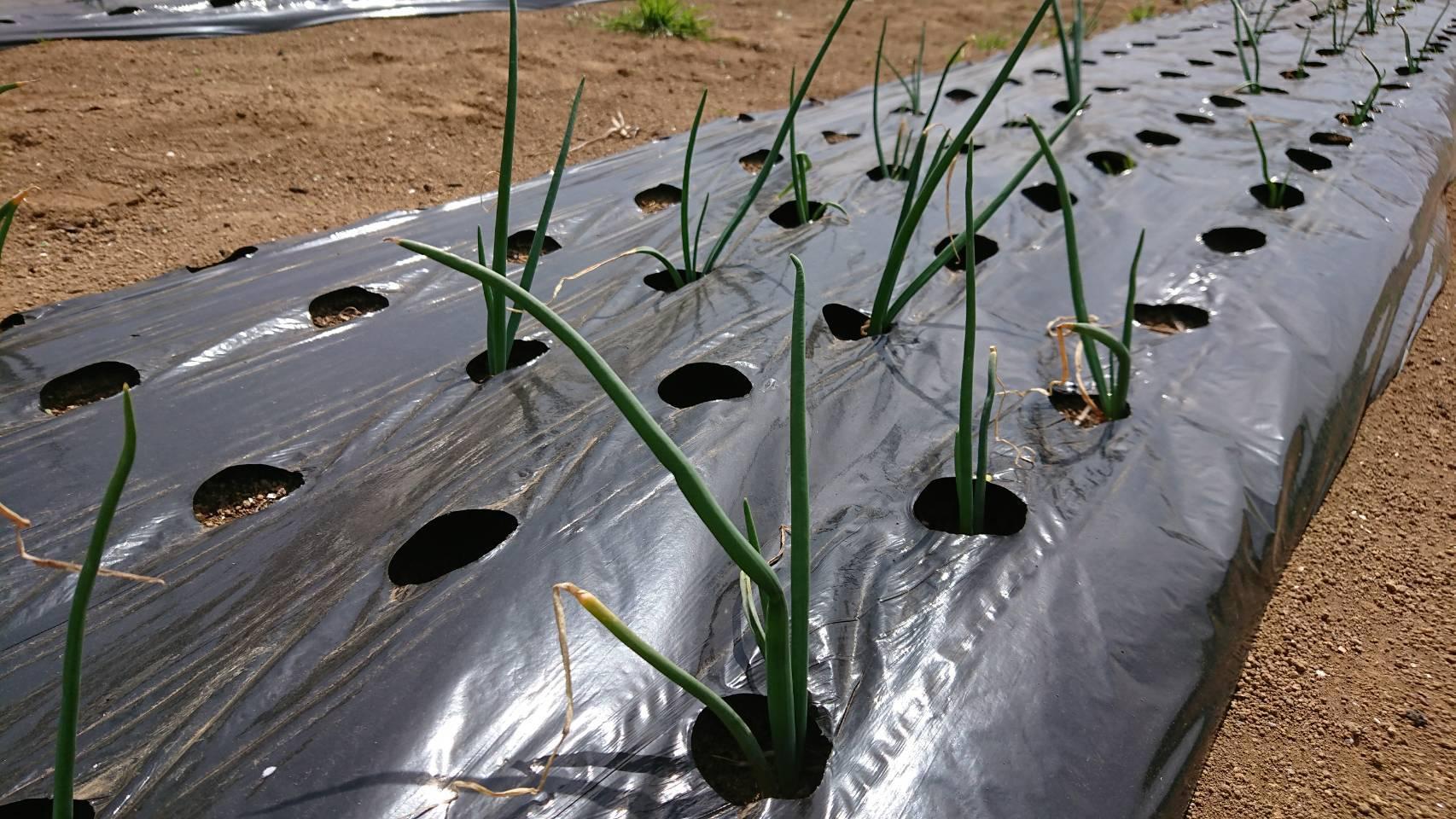 長ネギの播種開始します 畑直播き_c0222448_18210058.jpg
