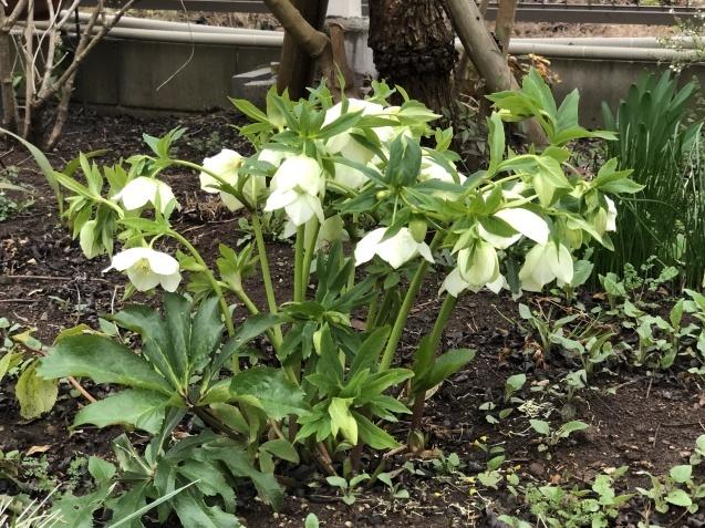 3月の庭_a0243064_17560034.jpg