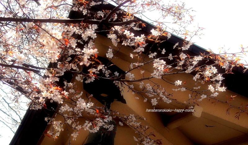 sakura・・_c0357781_11552613.jpg