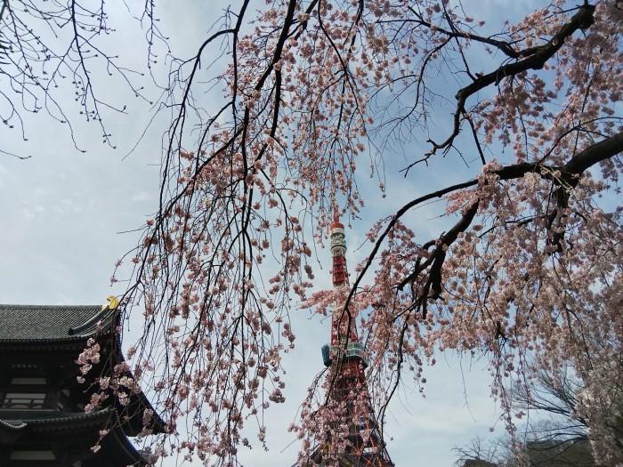 増上寺の桜と東京タワー_d0043390_20314626.jpg