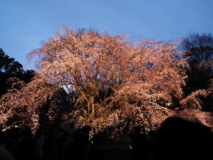 東京の桜 六義園_f0224100_23192080.jpg