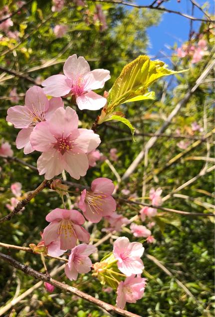桜二種_f0144003_21002043.jpg